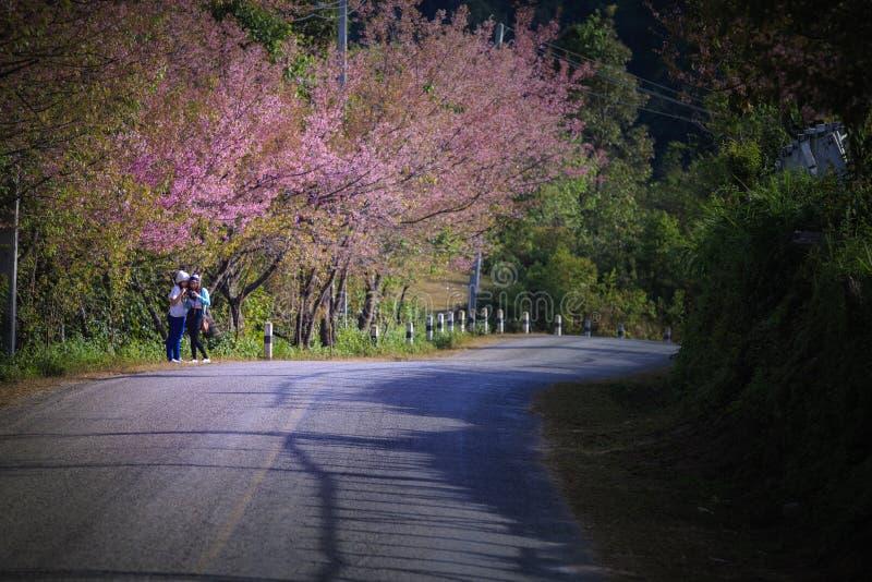 Chiangmai Thailand - january9,2016: niet geïdentificeerde toerist die een foto met de bloeiende bloem van de kersenbloesem in doi royalty-vrije stock afbeelding