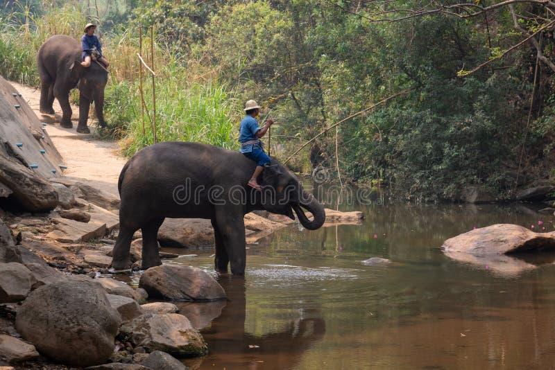 Chiangmai Thailand - 24 Maart, 2019: Olifanten die een bad met mahout in rivier, in Chiang Mai Thailand nemen stock foto's