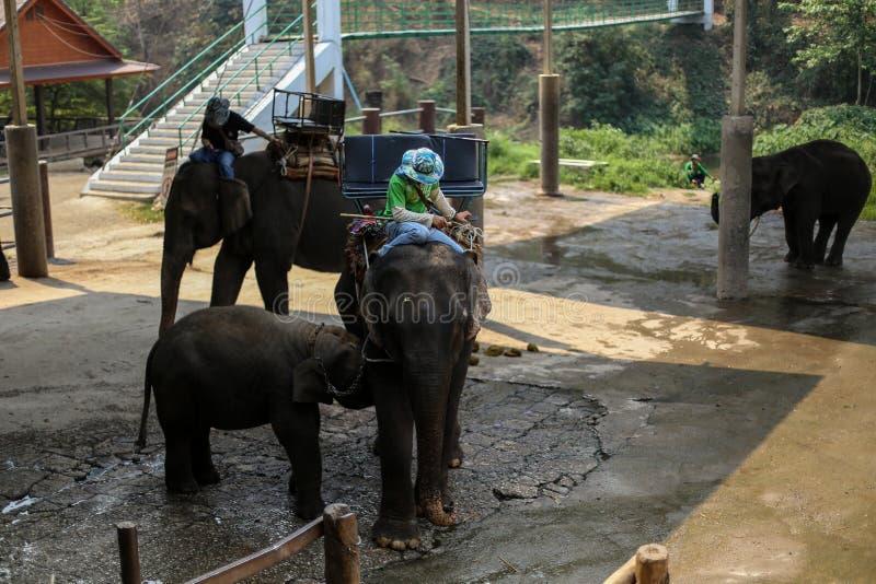 Chiangmai Thailand - mars 31, 2016: Mahouten och elefanten visar hur liven på Pang Mae Tang royaltyfri fotografi