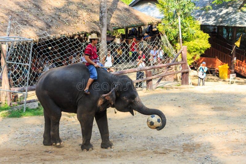 Chiangmai Thailand - November 16: elefantlåsfotboll och royaltyfria bilder