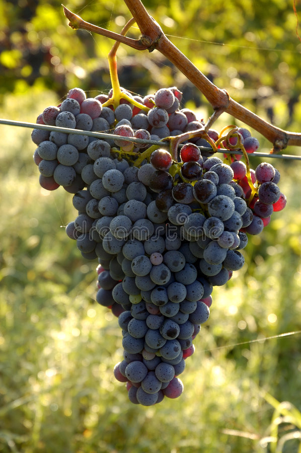 Free Chianti Grapes Royalty Free Stock Images - 259579