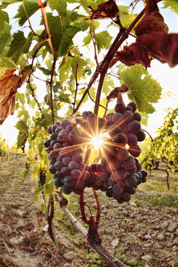 chiantituscany vingård fotografering för bildbyråer