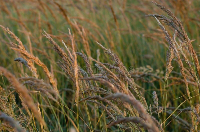 Chiara luce solare luminosa delle spighette di mattina sui precedenti di un campo di estate delle erbe selvagge Fuoco molle immagini stock libere da diritti
