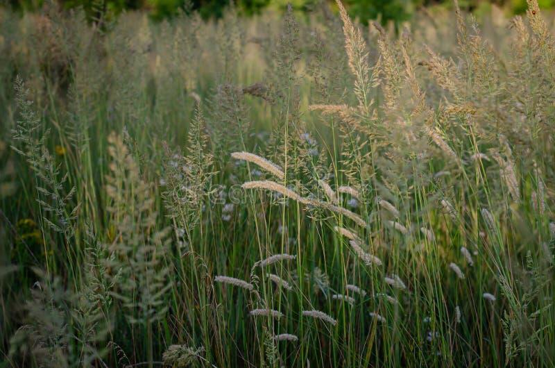 Chiara luce solare luminosa delle spighette di mattina sui precedenti di un campo di estate delle erbe selvagge Fuoco molle immagine stock