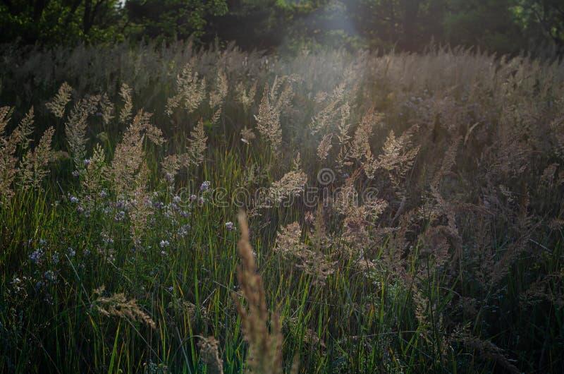 Chiara luce solare luminosa delle spighette di mattina sui precedenti di un campo di estate delle erbe selvagge Fuoco molle immagini stock