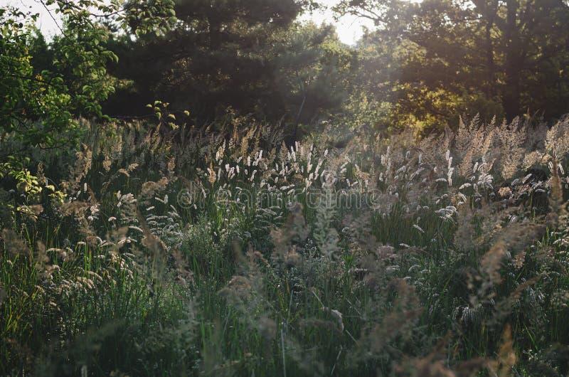 Chiara luce solare luminosa delle spighette di mattina sui precedenti di un campo di estate delle erbe selvagge Fuoco molle fotografia stock