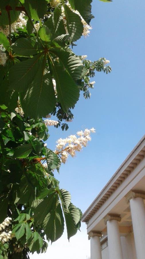 Chiaro cielo blu Bei fiori pittoreschi della castagna colonne del arge decorate con la voluta a spirale immagine stock