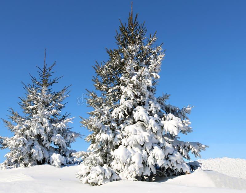 Chiaro giorno di inverno fresco con neve pulita fresca sugli alberi attillati fotografia stock libera da diritti