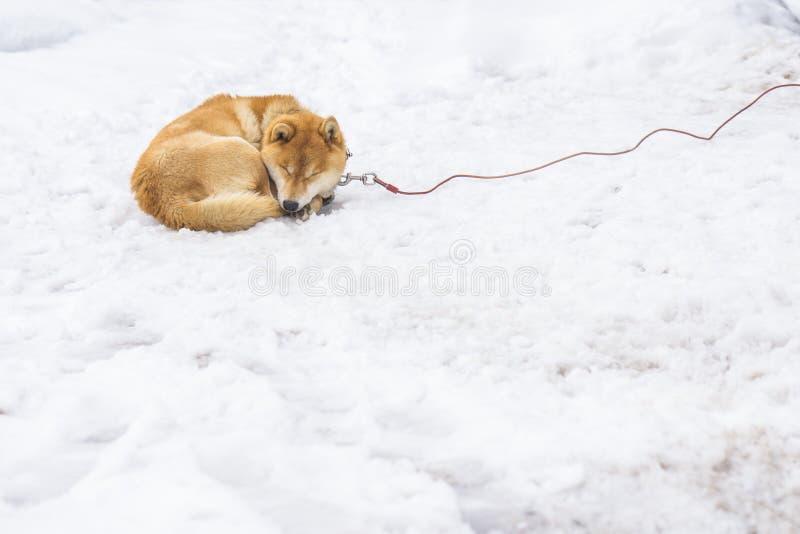 Chiba Inu, Japanse hondslaap op witte sneeuw royalty-vrije stock foto