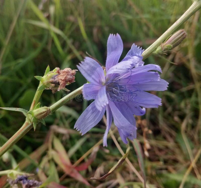 chicória azul na grama imagem de stock