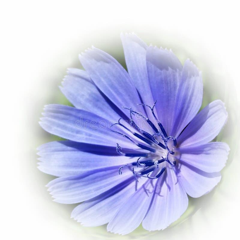 Chicória azul roxa fotos de stock