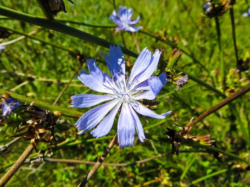 A chicória comum floresce o intybus do Cichorium em um prado foto de stock royalty free