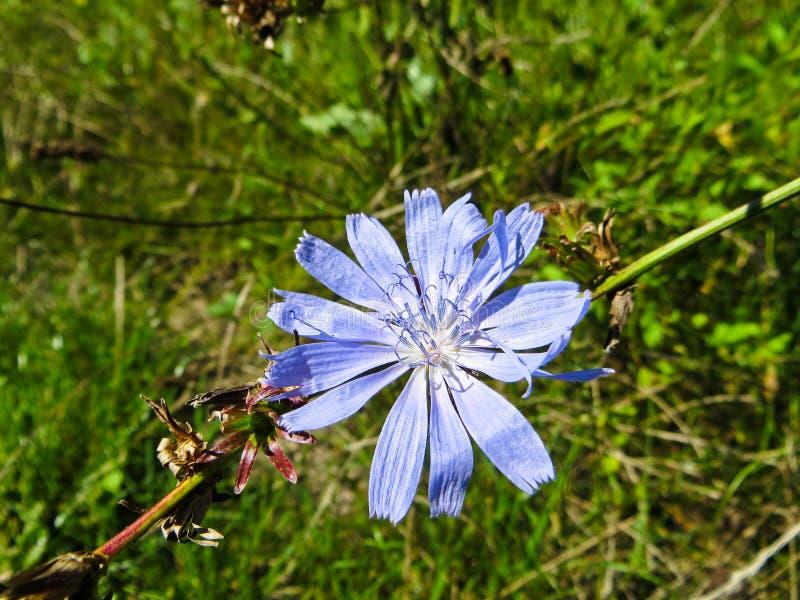 A chicória comum floresce o intybus do Cichorium no prado fotografia de stock