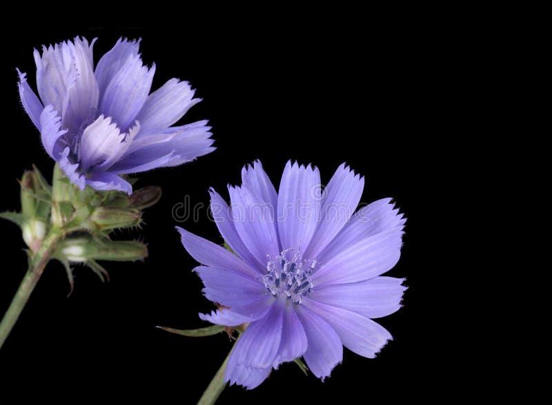 Chicória comum (intybus do Cichorium) imagens de stock