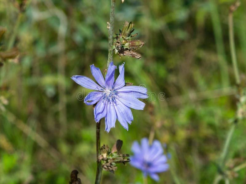 Chicória comum, intybus do Cichorium, flor com macro borrado do fundo, foco seletivo, DOF raso foto de stock