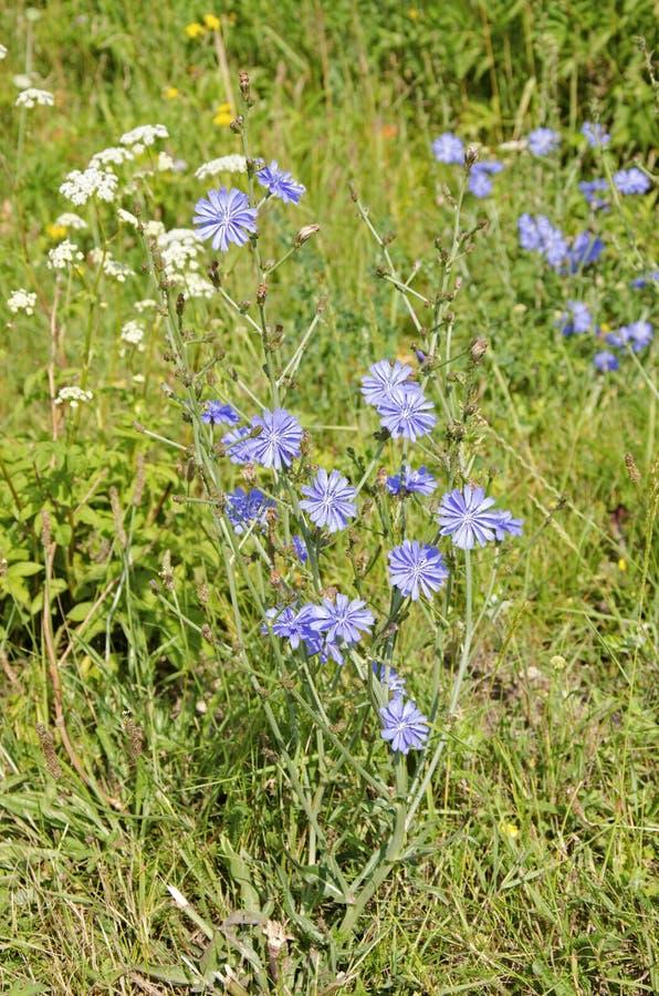 Chicória comum, intybus do Cichorium, na flor foto de stock royalty free