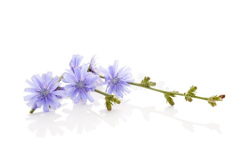 Chicória da planta medicinal imagens de stock