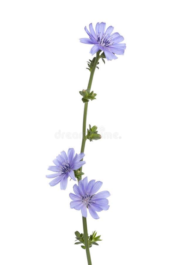 Chicória de florescência azul fresca imagem de stock