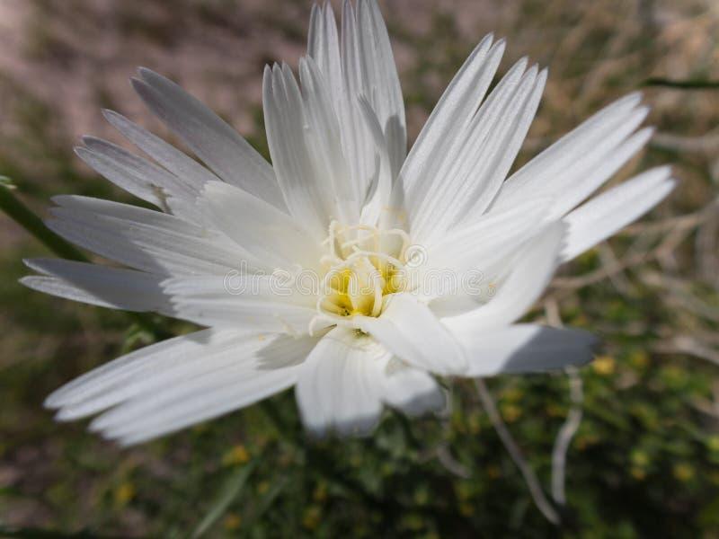 Chicória do deserto, wildflower do deserto imagens de stock
