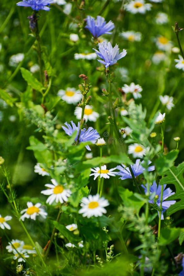 Chicória e camomila em um prado Grama e flores selvagens contra o céu fotografia de stock