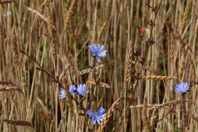 Chicória entre as orelhas do trigo em um campo imagem de stock royalty free
