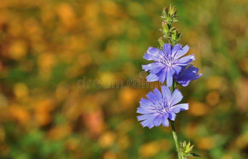 Chicória, flor azul do prado imagem de stock royalty free