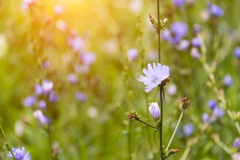 A chicória floresce em um prado em um dia ensolarado imagem de stock royalty free