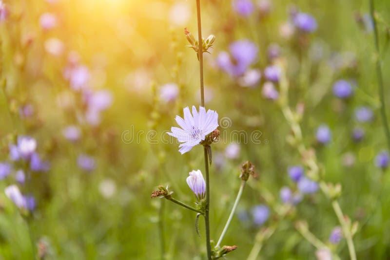 A chicória floresce em um prado em um dia ensolarado fotografia de stock royalty free
