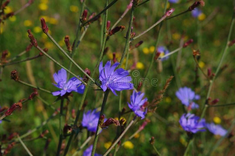 Chicória (intybus do Cichorium) imagem de stock