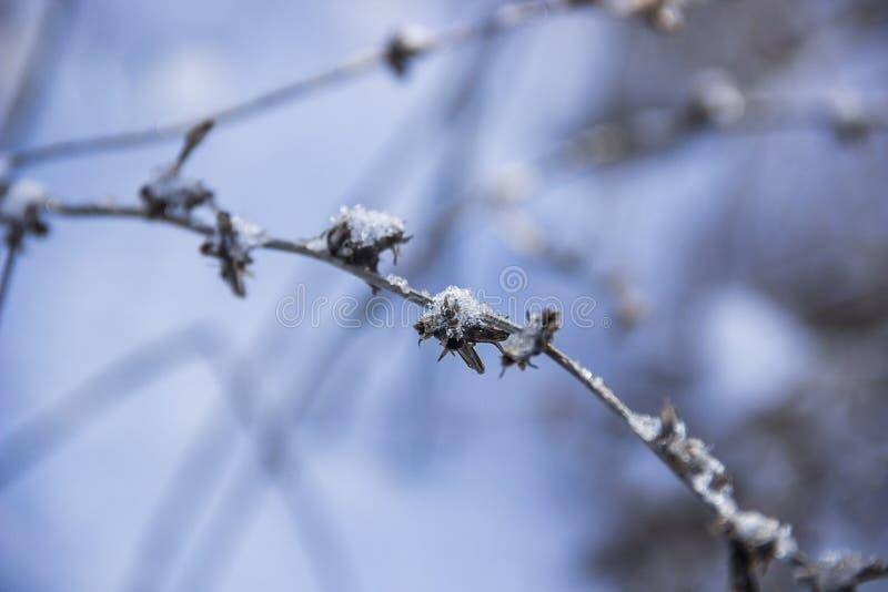 Chicória no inverno imagens de stock
