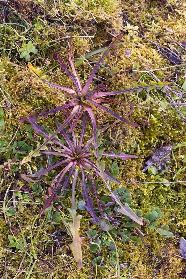 Chicória selvagem (intybus), planta comestível dos campos, foragi do Cichorium fotografia de stock