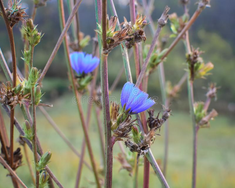 Chicória - Wildflower azul em Wisconsin imagens de stock royalty free