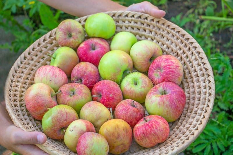 Chica joven que sostiene la cesta de mimbre por completo de manzanas maduras rojas y amarillas del otoño foto de archivo