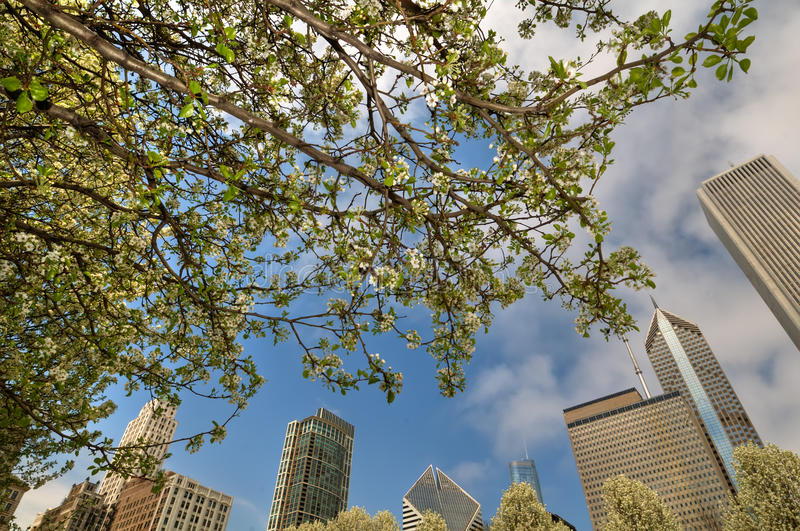Download Chicago and cherry blossom stock image. Image of landmark - 31271951