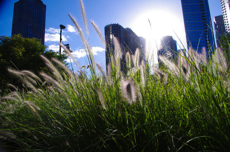 Chicago skyline in the Grass. Frog perspective picture form Chicago skyline, with alot of backlight from the sun stock image