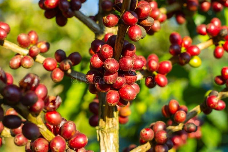 Chicchi di caffè che maturano sull'albero fotografie stock libere da diritti
