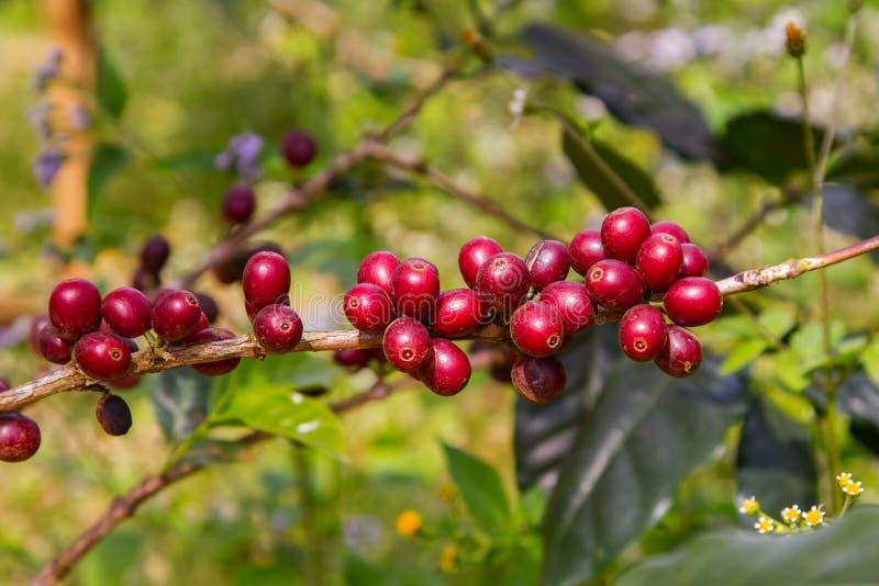 Chicchi di caffè che maturano sull'albero nel Nord della Tailandia fotografia stock libera da diritti