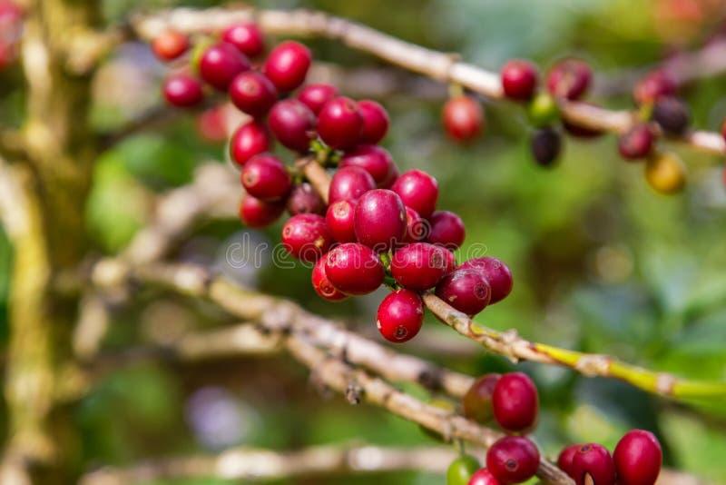 Chicchi di caffè che maturano sull'albero nel Nord della Tailandia immagine stock libera da diritti