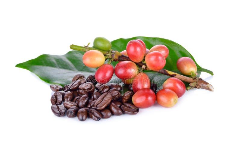 Chicchi di caffè freschi con il gambo e la st arrostita dell'arabica dei chicchi di caffè fotografia stock libera da diritti