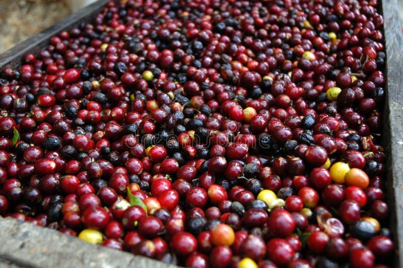 Chicchi di caffè Guatemala immagini stock