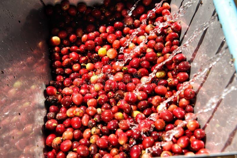 Chicchi di caffè, nel metodo del lavaggio e del fermento fotografie stock libere da diritti