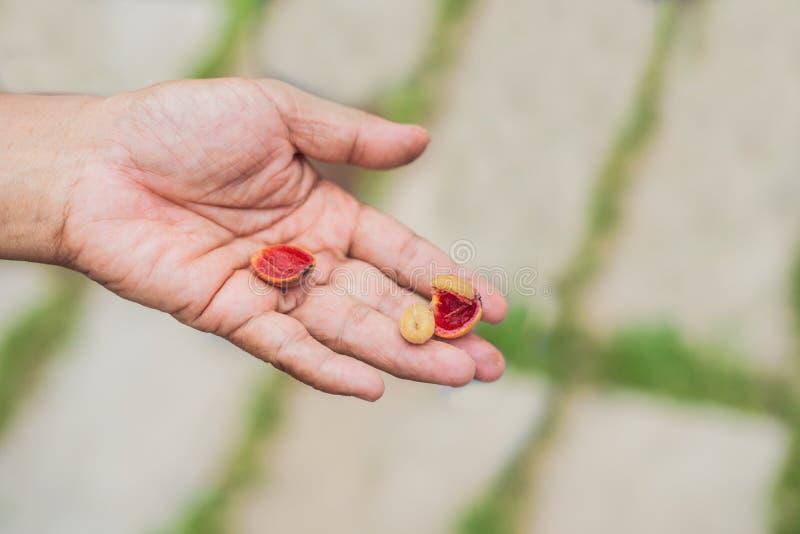 Chicchi di caffè rossi freschi delle bacche a disposizione fotografia stock libera da diritti