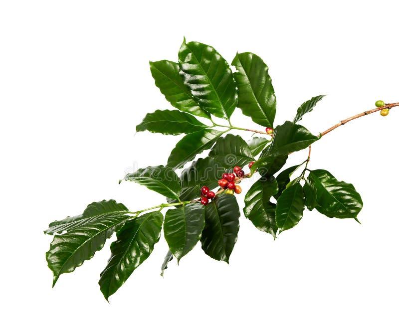 Chicchi di caffè rossi su un ramo della pianta del caffè con i chicchi maturi e non maturi delle foglie, di caffè isolati su fond fotografia stock libera da diritti