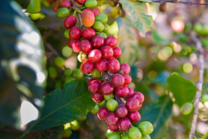 Chicchi di caffè rossi sui chicchi maturi e maturi dell'albero - di caffè nel tempo di raccolto fotografia stock libera da diritti