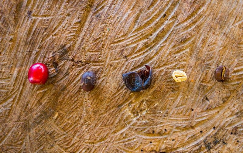 Chicchi di caffè, sbucciato, asciutto ed arrostito immagine stock