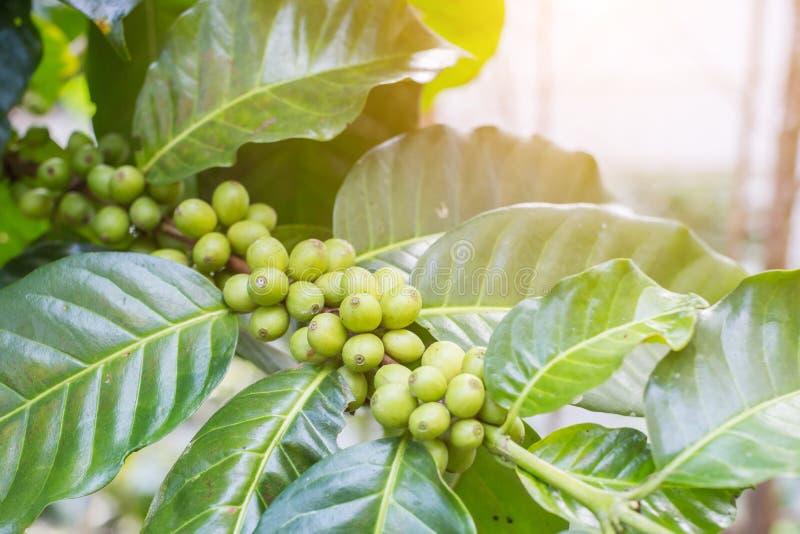 Chicchi di caffè sul ramo con il fondo di luce solare nell'azienda agricola della piantagione di caffè alla montagna nordica immagine stock