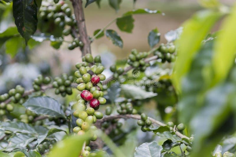 Chicchi di caffè sull'albero immagine stock libera da diritti
