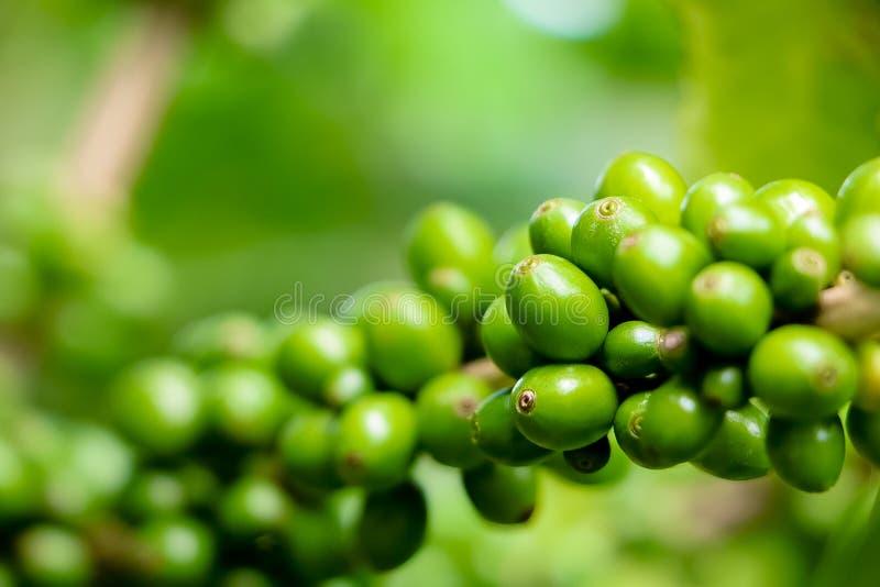 Chicchi di caffè verdi sul tree1 fotografia stock