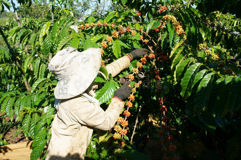 Chicco di caffè asiatico della scelta dell'agricoltore fotografie stock libere da diritti