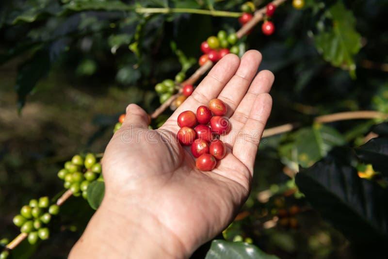 Chicco di caffè maturo della tenuta della mano, fagiolo del caffè Arabica del raccolto del lavoratore dalla pianta del caffè fotografia stock libera da diritti